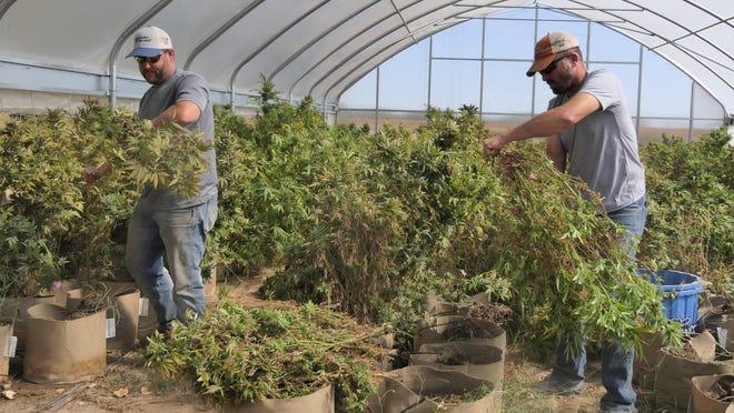 Aaron Baldwin and Ryan Morehead harvest industrial hemp on Oct. 14 at South Bend Industrial Hemp in Great Bend.