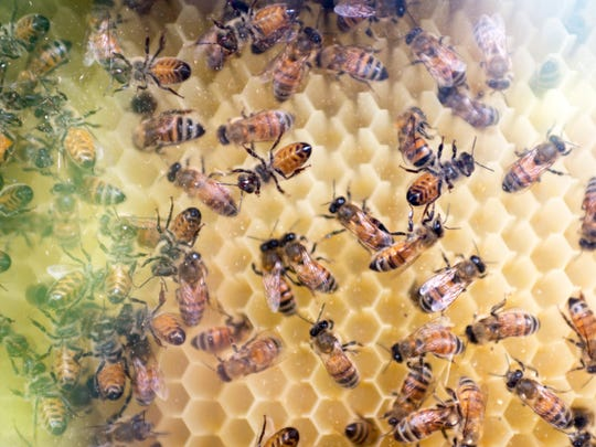 """Honeybees crawl through their honeycomb at Jeffry Turnmire's two acre backyard garden in West Knoxville, Tennessee on Thursday, July 19, 2018. Turnmire is the first in Knoxville to successfully zone with lot with the city as a """"market garden,"""" hoping to eventually sell his produce to local restaurants."""