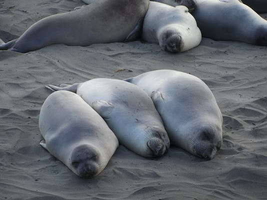 636530990456828028-Elephant-seals-at-rest-in-SLO-CAL-credit-Susan-B.-Barnes.jpg