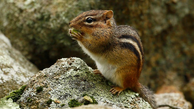 A chipmunk eats an acorn at St. Clement Pope and Martyr Church in Dover. August 21, 2018, Dover, NJ