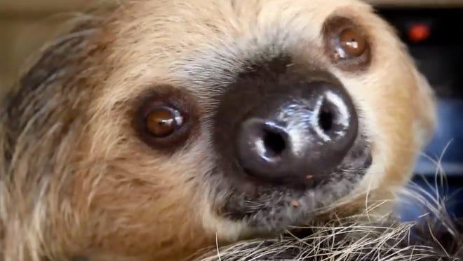 Fernando the Sloth