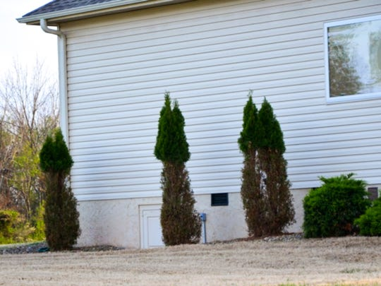 """Shrubs damaged by deer show what many Tellico Village residents call the """"Kahite cut."""""""