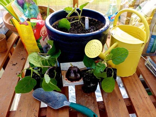 Gardening Eggplant_Youn