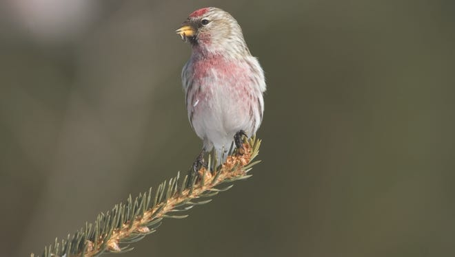 Common redpolls will burrow under the snow to stay warm during the cold winter nights.
