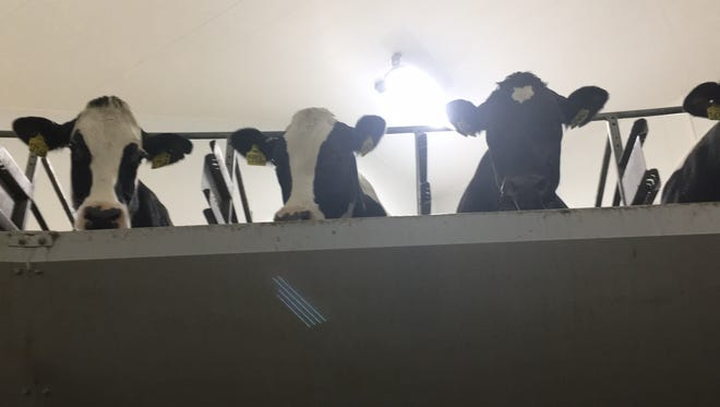 Cows peering down from the milking carousel Tuesday at Kinnard Farms in Kewaunee County.