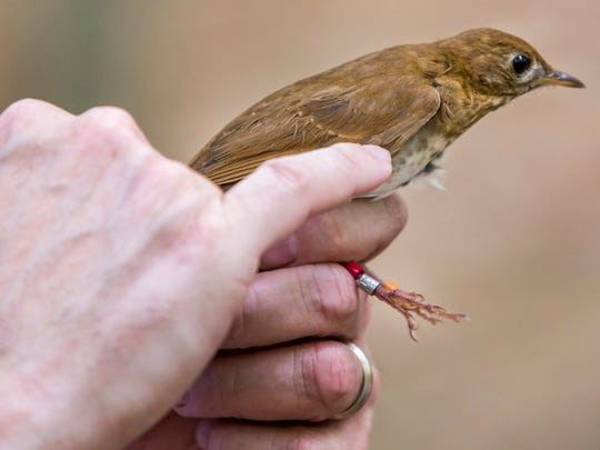 Delaware State associate professor Kitt Heckscher looks at the feathers on a veery for an indication of the bird's age in White Clay Creek State Park on Monday morning.