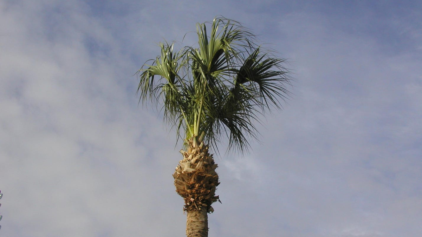 What To Do When Palm Fronds Yellow