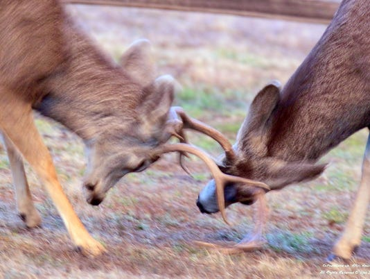 bucks-battling