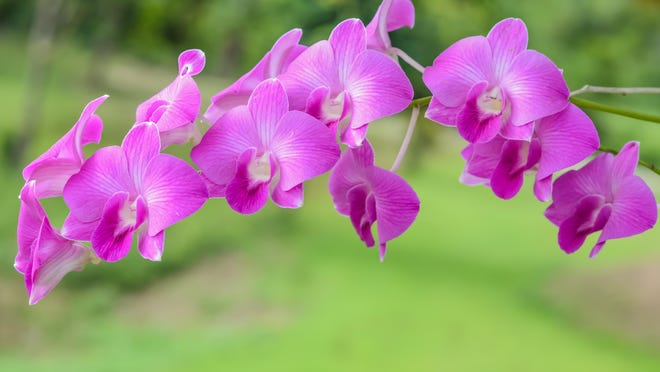 Bring orchids inside if the temperatures are forecasted to get down to 50 degrees or lower.