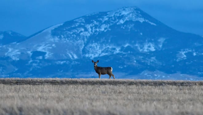 A mule deer stands against the backdrop of Highwood Baldy, January 26, 2018.