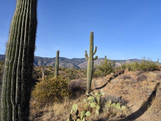 Saguaros frame Bradshaw Mountain vistas along the Bumble Bee segment of the Black Canyon Trail.