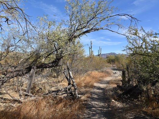 Enormous saguaros, contorted ironwood trees and dilapidated barbed wire fences can be seen along the Jeep Trail.