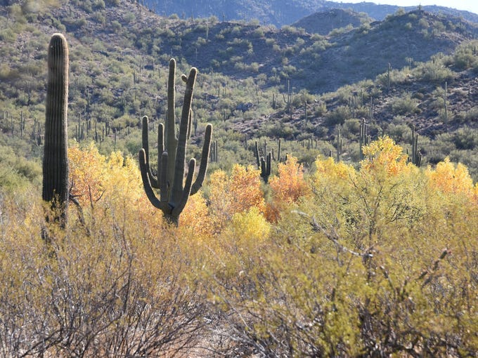 Golden cottonwoods along Cave Creek in P.A. Seitts