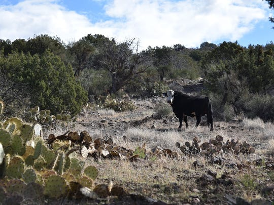 You'll probably encounter cattle on this trek