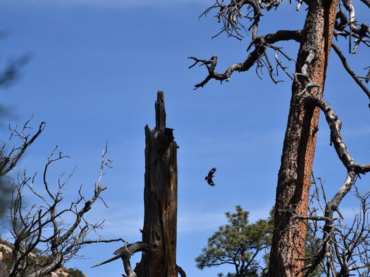 An acorn woodpecker in flight during the Clark Spring