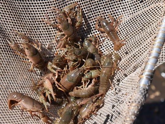 Invasive crayfish threaten native species.