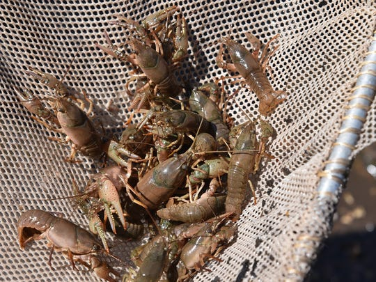 Invasive crayfish threaten native species.
