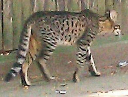 Detroit Cat