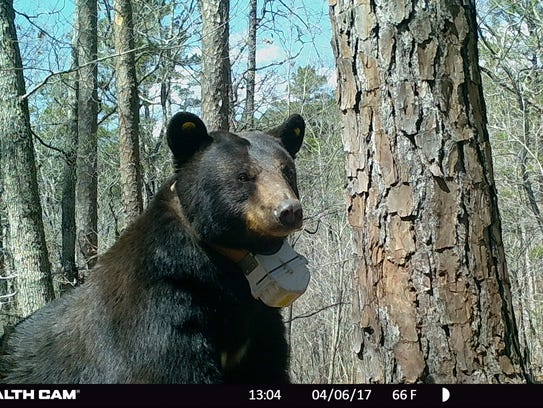 A large black bear photographed near its den in Texas