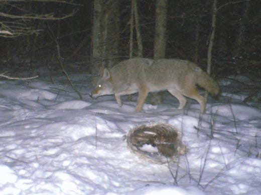 DNR: Hound killed by wolves in Oconto County