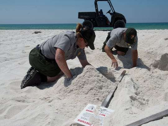 National Park Service staff members, Monica Hardin, left, and Rob Wise, right, search the nesting area of a Leatherback Sea Turtle for the turtle's egg cavity on Santa Rosa Island Wednesday morning. The last known Leatherback Sea Turtle nesting on Santa Rosa Island was in 2000.