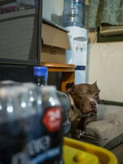 Pig the dog rests between bottled water and a water