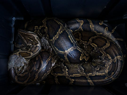 A 15-foot female Burmese python coils inside a container