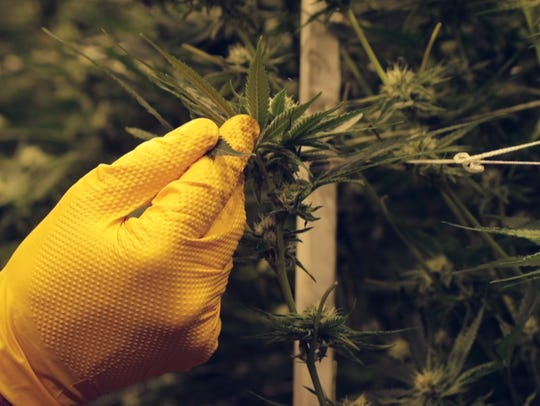 Jeff Homolya examines marijuana plants at Canndescent