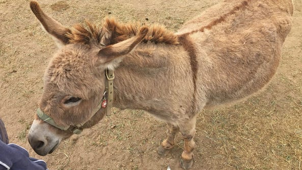 Sicilian miniature donkey named Dominic at the Monterey