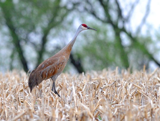 A sandhill crane looks for food in a field on Triangle