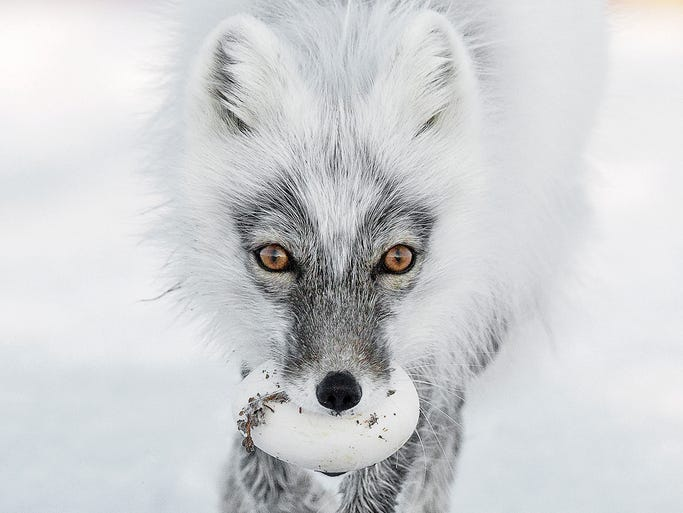 Sergey Gorshkov took this photo of an Arctic fox on