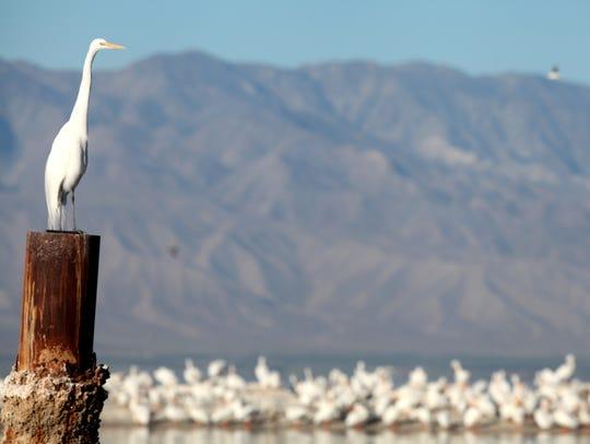 Birds congregate along the shore of the Salton Sea,