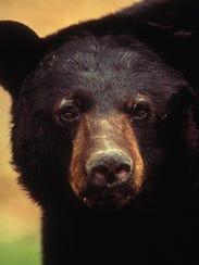 Louisiana black bear.