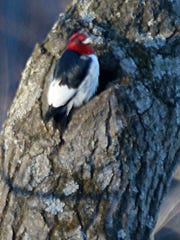Red-headed woodpeckers declined for many years in Wisconsin, but stabilized the past decade. They're primarily found in southern and central Wisconsin.