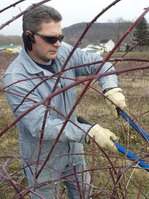 Steve Hirsch, one of the owners of Hirsch Fruit Farm, prunes out dead black raspberry shoots and cuts back to the live ones in a 1-acre field of black raspberry canes in 2010 at the farm located on Ohio 772.  Hirsch has been re-elected president of the Ohio Farm Bureau.