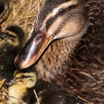 Michigan duck wins nation-wide Miss Flock-Tober pageant