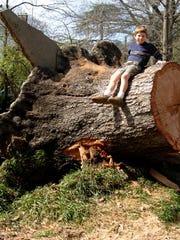 This Darlington oak or upland laurel oak was planted