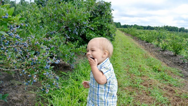 Bowerman Blueberries is currently in its second picking. Farm and retail manager Tom Parker expects the season to continue for another three to four weeks, depending on the weather.