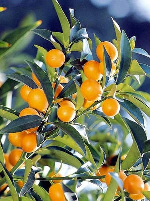 Nagami Kumquats have become the most popular, and best producing variety in the valley