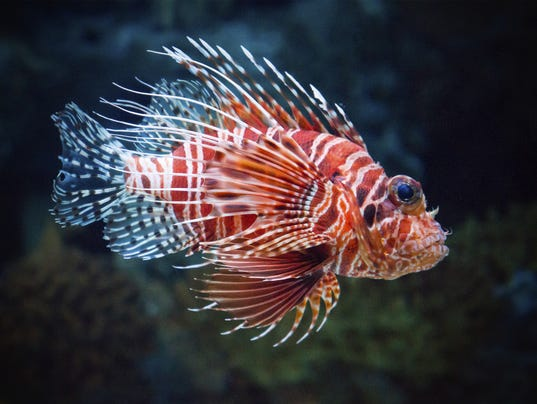 Lionfish you have to eat them to beat them for Fish native to florida