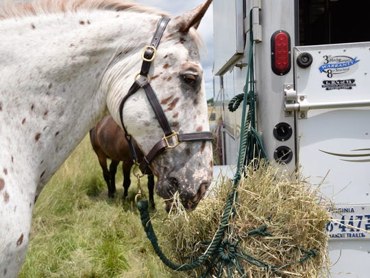 Frej the horse snacks on some hay before the murder mystery ride in Grottoes on Sunday, June 28, 2015.