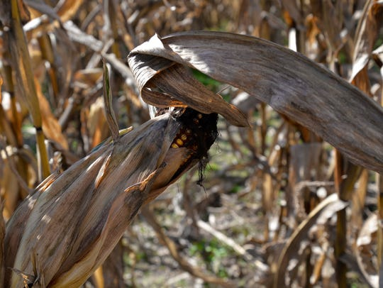 Corn can be found throughout the corn maze at Creative
