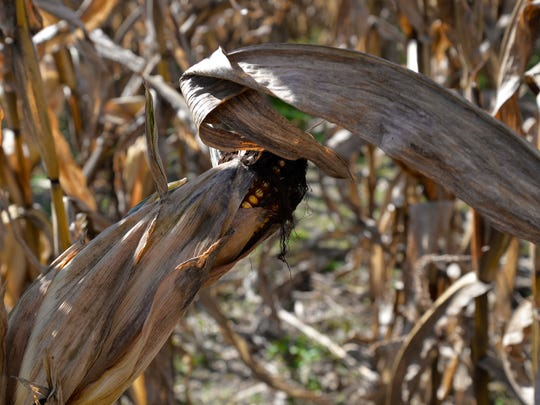 Corn can be found throughout the corn maze at Creative Works Farm outside of Waynesboro. The maze is home to Skeeter's Maze Adventure and Twizted Creationz.