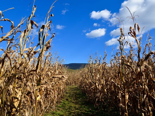 The Blue Ridge Mountains peeking out above the corn
