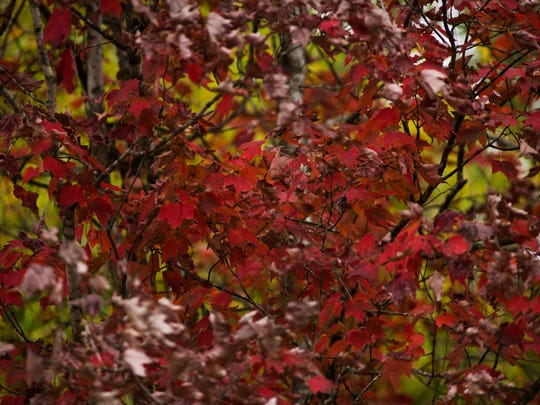 Maple leaves show their color near the Foothills Parkway Thursday, Oct. 13, 2016, in Wears Valley.