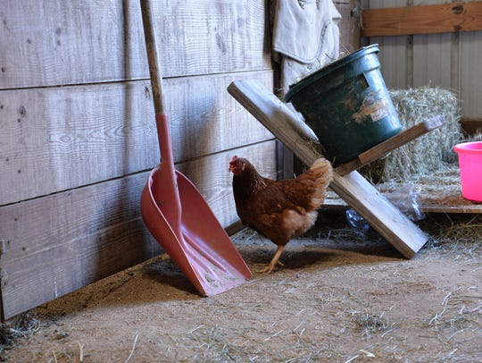 A chicken wanders into the horse stables at Cool Breeze
