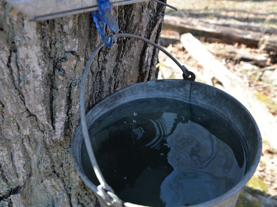A drop of sugar water drops into a tin used to capture sugar water out of a maple tree at Back Creek Farms in Monterey.