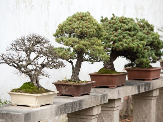 Bonsai trees lined up in Chinese garden
