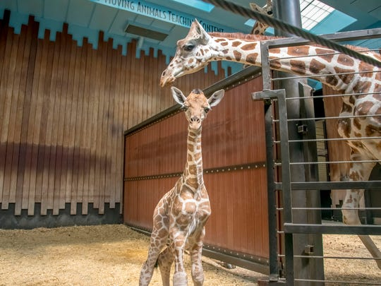 The Milwaukee County Zoo announced the birth of a male calf. The calf, who is yet to be named, was born over Labor Day weekend to parents Ziggy and Bahatika.