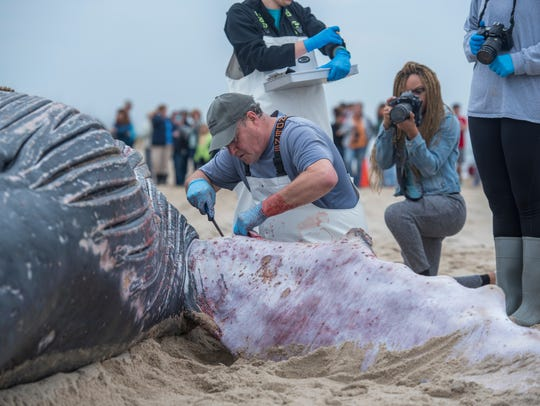 UNCW's Marine Mammal Stranding program headed by faculty members William McLellan and Ann Pabst perform a necropsy along with the help of NCAFF and Kure Beach in North Carolin in January 2016 on a 30-foot subadult humpback whale that was found beached.
